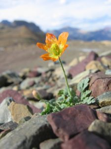 Photo of Alpine Glacier Poppy