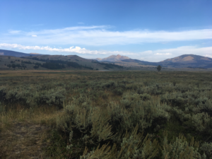 Illustration of Desert Alyssum habitat in Yellowstone NP