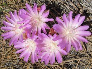 Photo of Bitterroot blooming