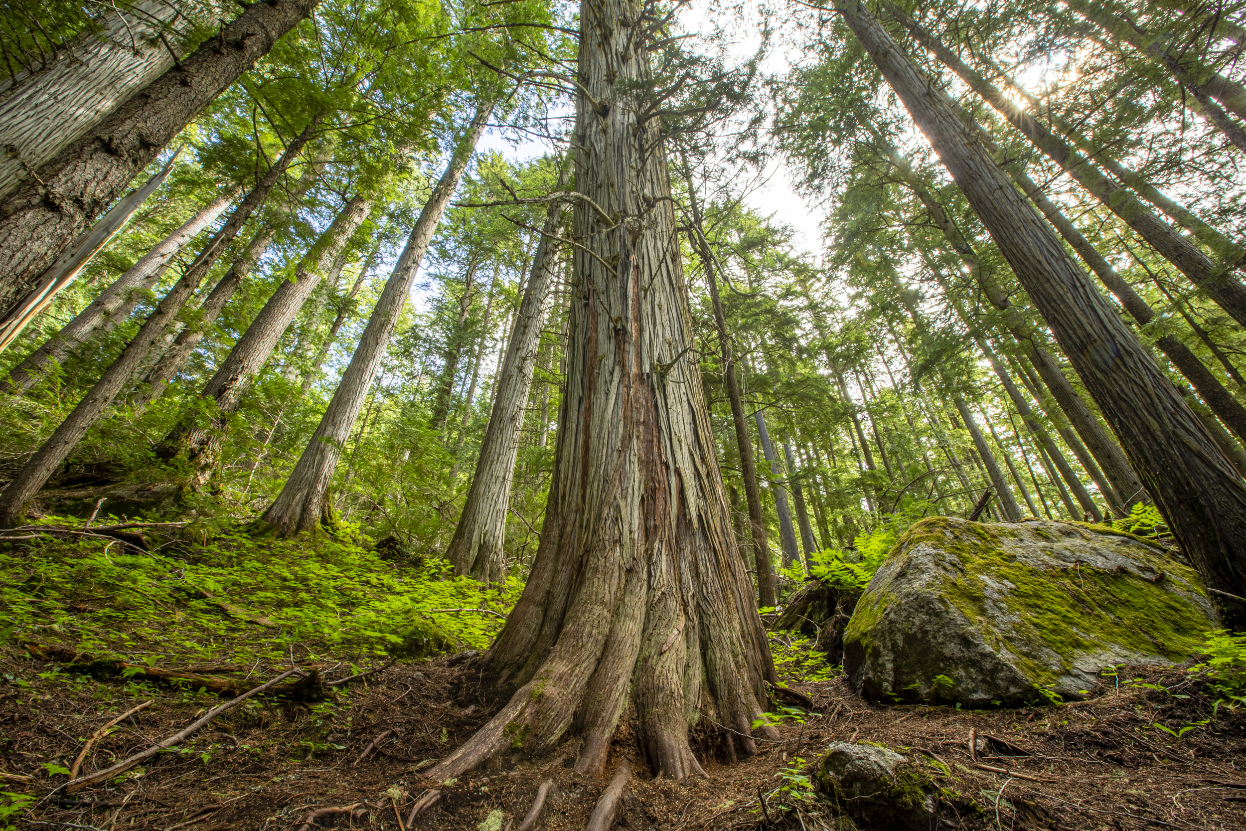 A large western red cedar dwarfs its neighbors in a stand of ancient trees in British Columbia's Selkirk Mountains.